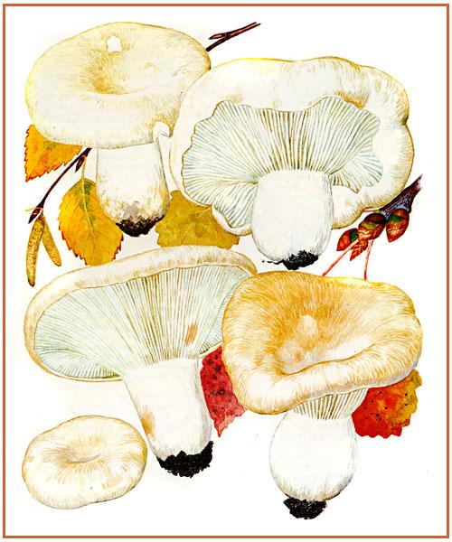 Один из самых распространенных грибов