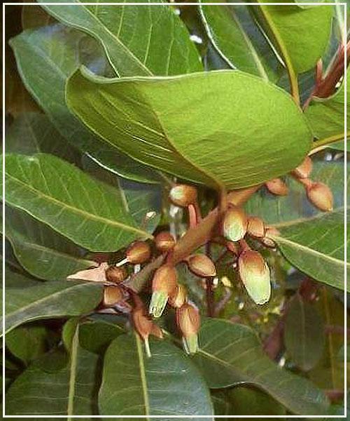 Спелый плод лукумы съедается в свежем
